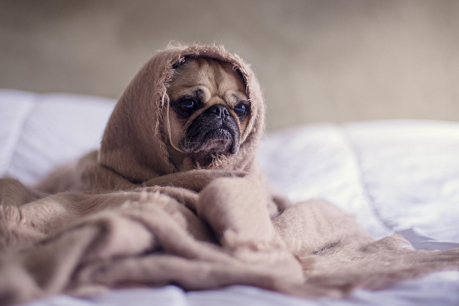 Sleep Bed Dog Pug Blanket Insomnia