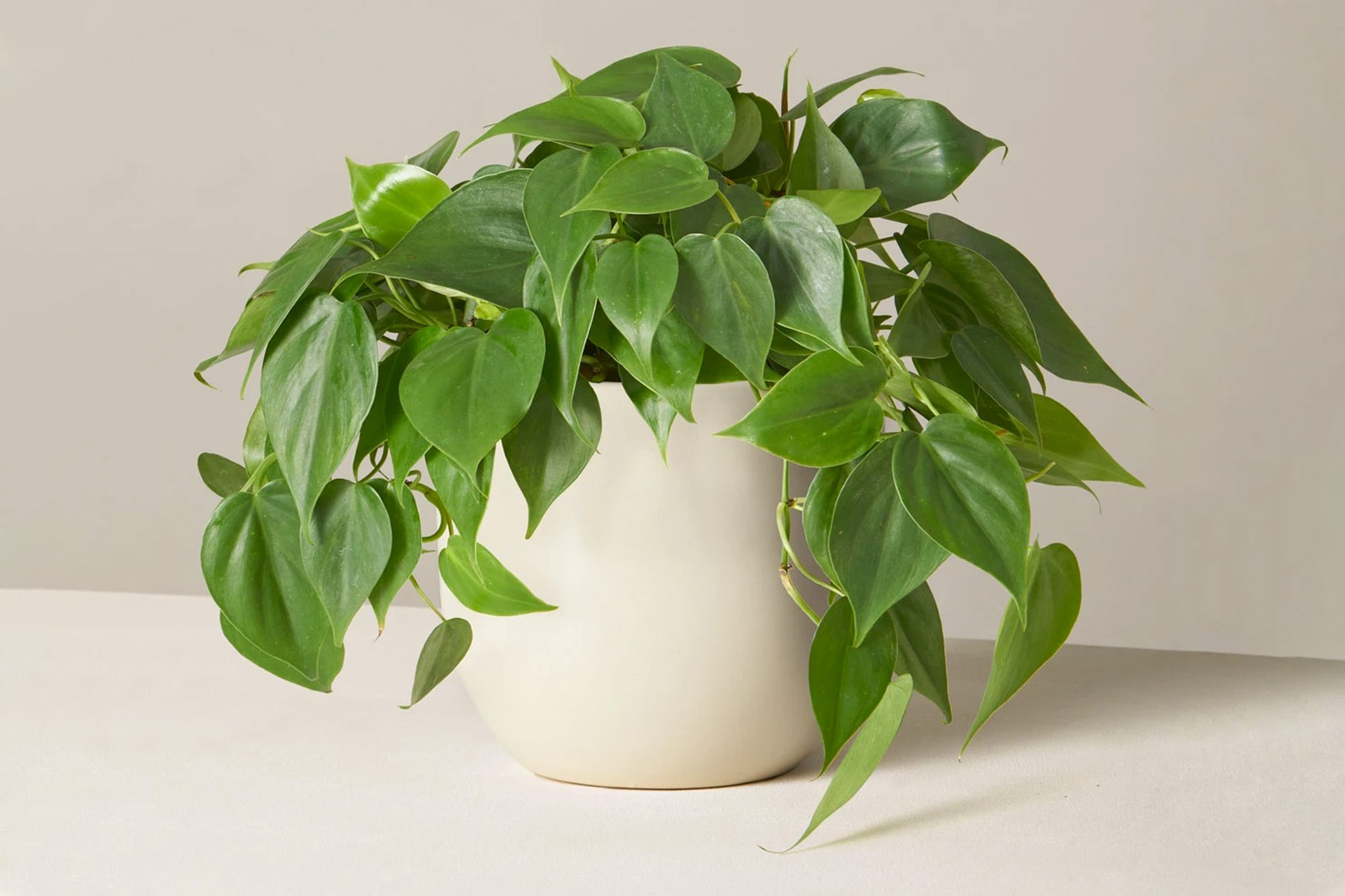 best plants indoor hanging trailing beginners guide home interior the sill anthurium birds nest fern philodendron orchid marble queen pothos erin marino interview