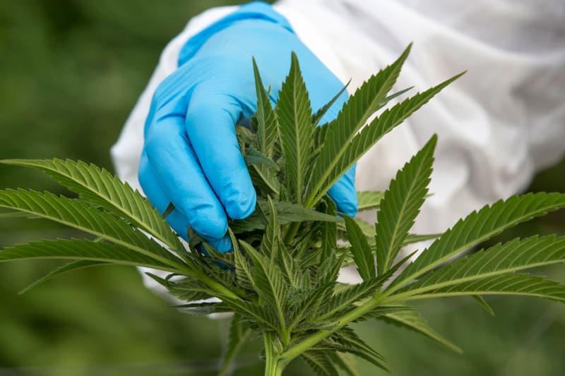 聯合國麻醉藥品委員會正式降低大麻及相關物質之管制等级