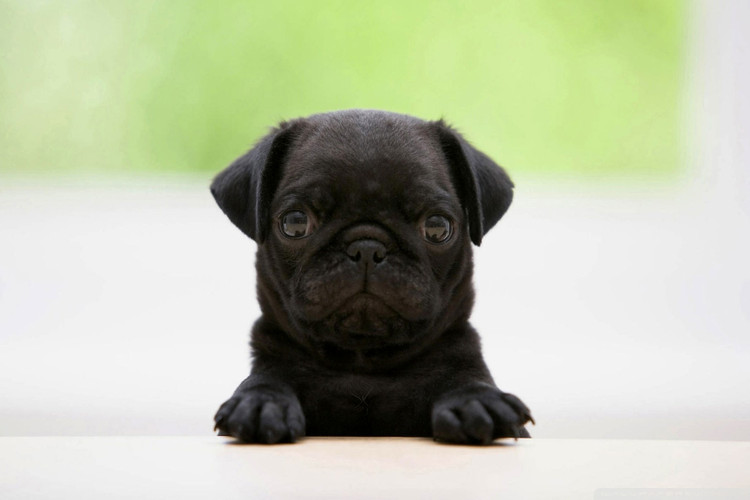 4c660aafb348a0 Uber Will Now Deliver Puppies to Hang out With You