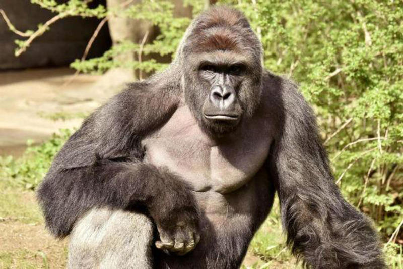 Harambe-Shaped Cheeto Sells on eBay for Nearly $100,000 USD Gorilla Monkey Cincinnati Zoo