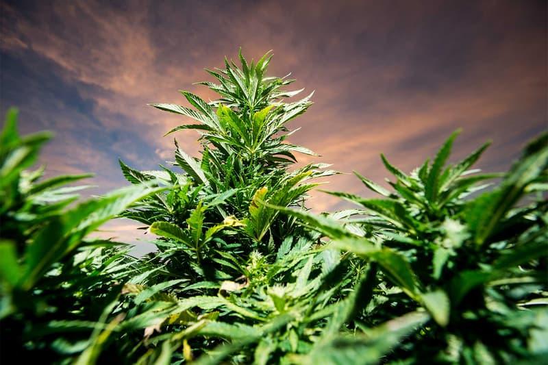 Legal Marijuana Sales 10 Billion 2017 marijuana plant