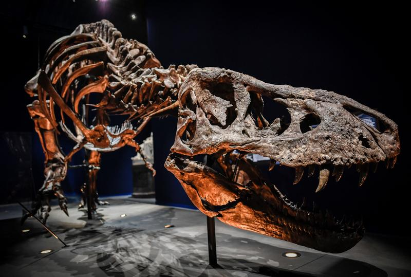 World Biggest T-Rex Discovered Canada Tyrannosaurus rex Dinosaur National Geographic