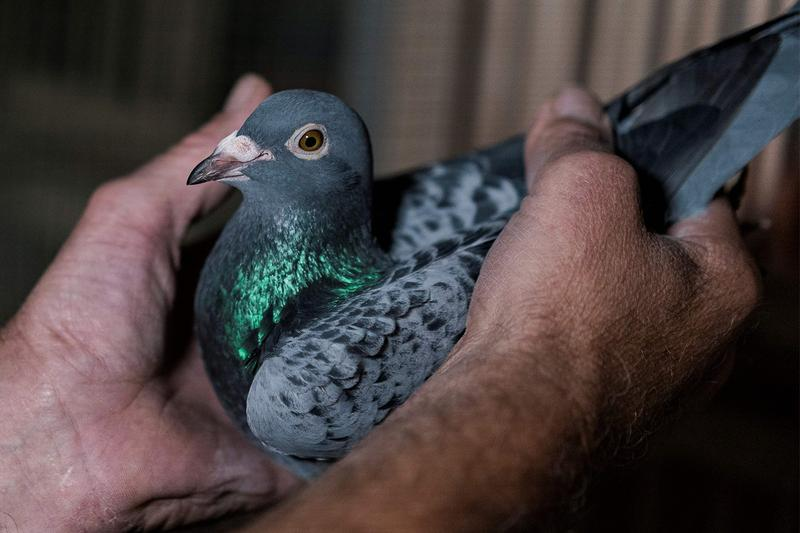 Belgian Racing Pigeon Record Auction News 1.6 million Euro China Sale Record breeding animals racing rich wealthy sports China Chinese buyers auctions PIPA