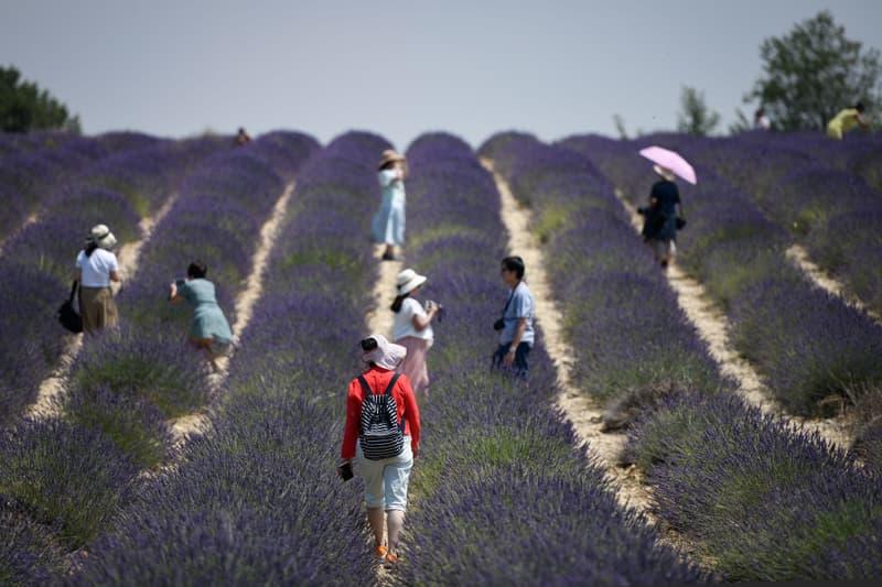 Photo des champs de lavandes