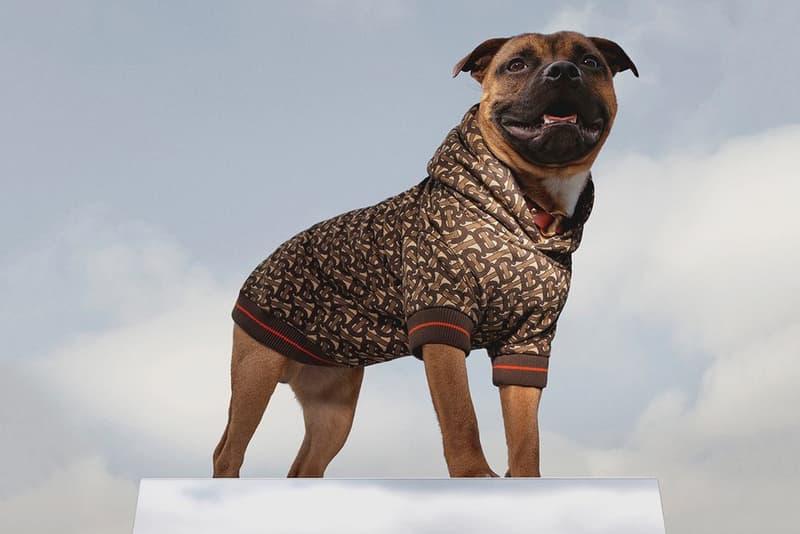 Phot Burberry hoodie chien