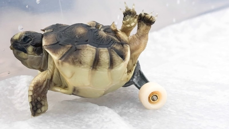 DISABLED TORTOISE GETS NEW LEASE ON LIFE… BY SKATEBOARDING