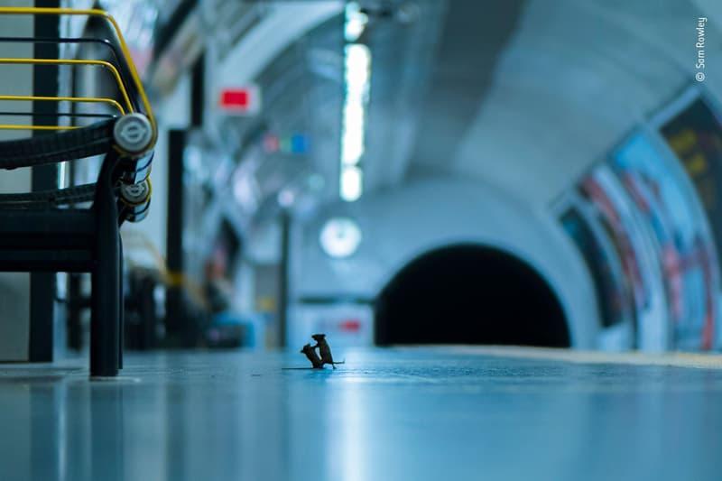 野生動物攝影大獎由「英國地鐵兩隻老鼠」奪得民眾票選獎