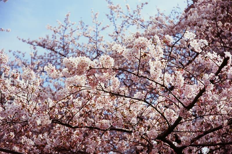 Cherry Blossom Sakura Japan Tokyo Meguro River Megurokawa Kawa Nakameguro Promenade Viewing Spot Best Pink Flowers Bloom Spring Hanami