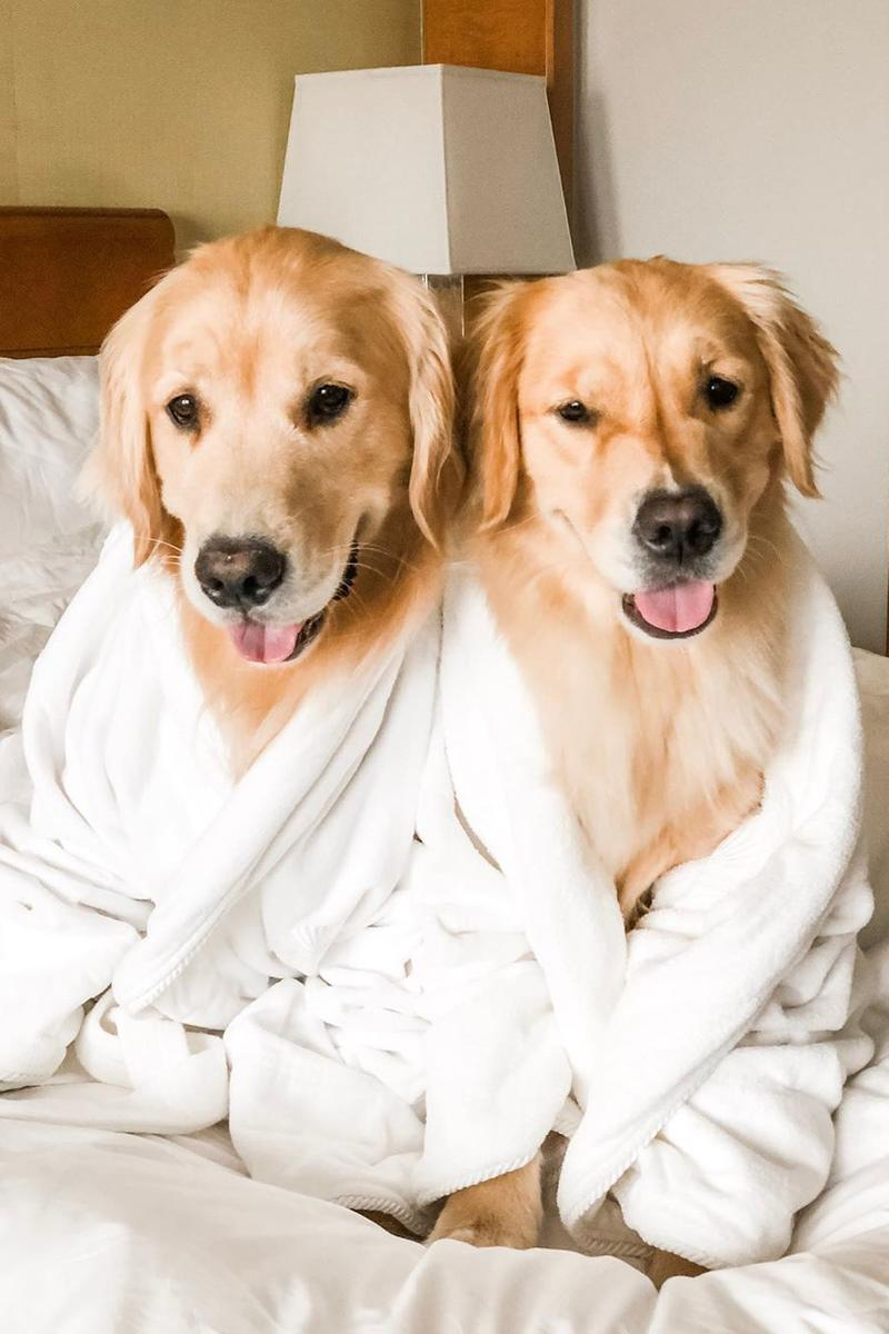 golden retriever dog puppy robe hotel room bed mandarin oriental boston travel pets sleepy sleeping bed