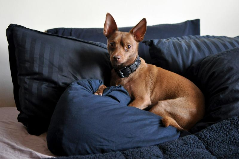 Dog on Bed Pillows Chihuahua Miniature Pinscher Chipin