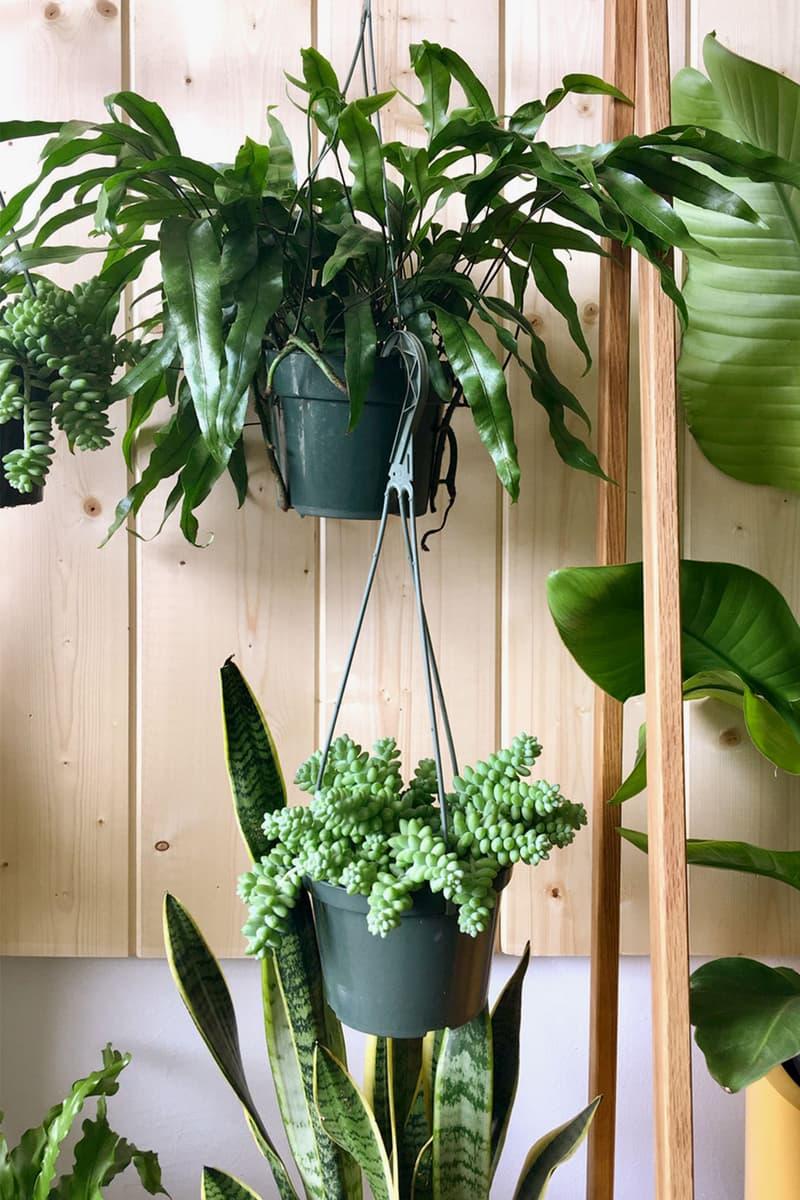 hanging trailing houseplants indoor home decor interior
