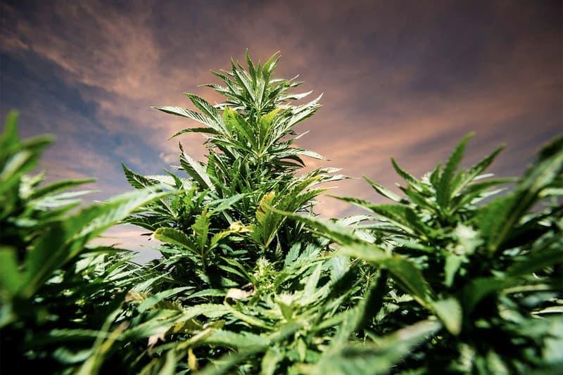 北米で爆発的な拡大をみせる合法マリファナの売り上げが今年だけで1兆円超え 期待をいい意味(?)裏切った北米の大麻市場の今後はいかに…… Arcview Market Research アークビューマーケットリサーチ